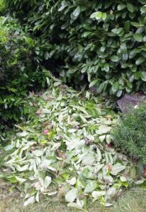 English laurel litter pile.